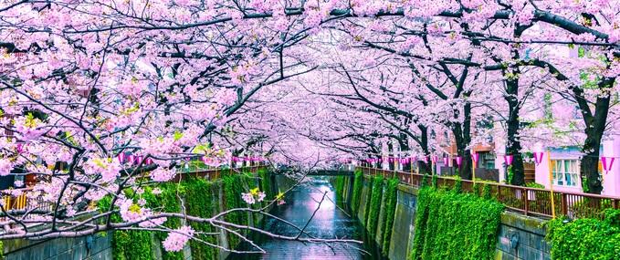 Visiting Japan to view the Sakura in 2020