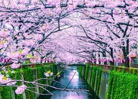 Cherry Blossom Sakura 2020