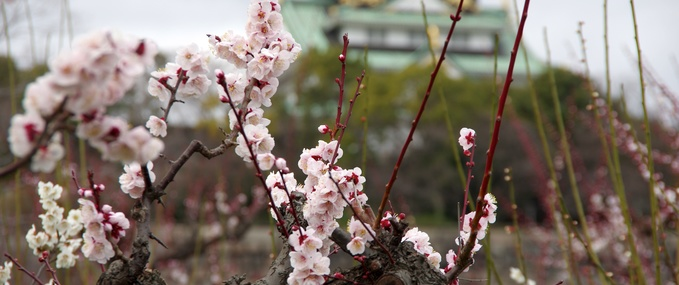 Visiting Japan to view the Plum Blossom