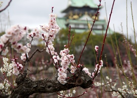 Plum Blossom in Japan