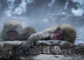 Jigokudani Snow Monkey's